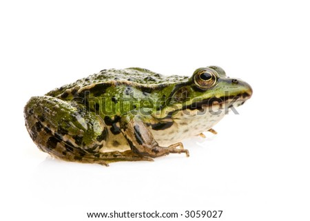 Edible Frog in front of a white background #3059027