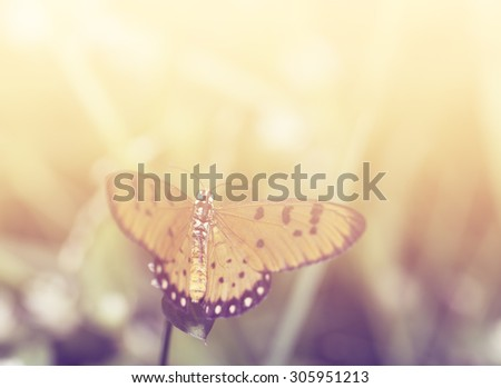 Tawny coster butterfly with soft filter background  #305951213