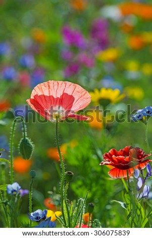 summer meadow with red poppies #306075839