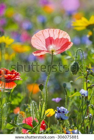summer meadow with red poppies #306075881