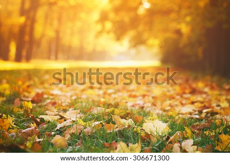 fallen autumn leaves on grass in sunny morning light, toned photo #306671300