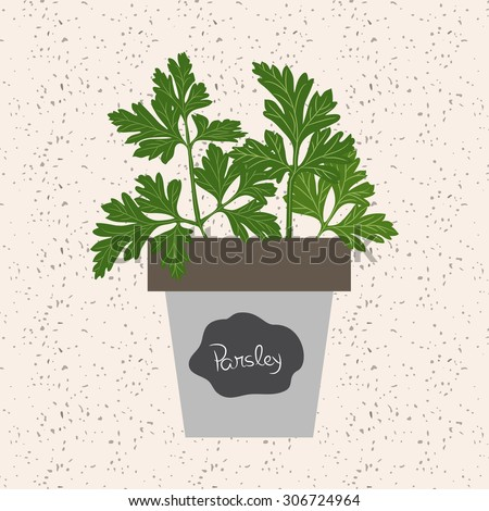Fresh parsley herb in a Flowerpot. Aromatic leaves used to season meats, poultry, stews, soups, Bouquet granny