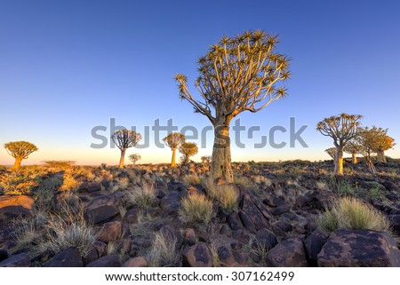 Quiver Tree Forest outside of Keetmanshoop, Namibia at dawn. #307162499