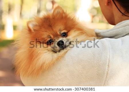 Pomeranian Spitz  dog friendly cute Pom bright thick coat looking back in arms of young woman breeder walking in park #307400381