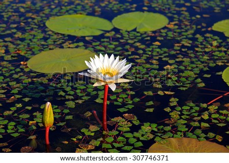 water lily Royalty-Free Stock Photo #307746371