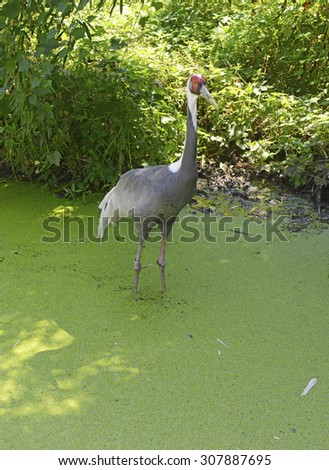 White-naped Cranes native to Asia, Cranes are symbolic of longevity and good luck in Asian culture #307887695