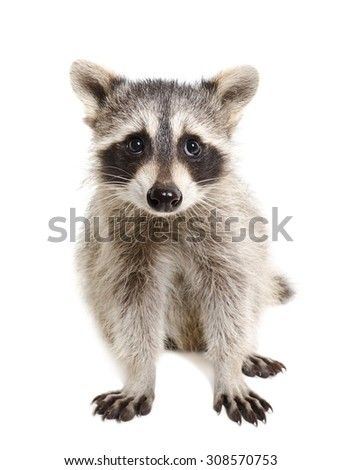 Portrait of a raccoon sitting isolated on white background #308570753