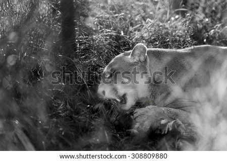 Cougar hidden behind the foliage in attack at twilight - black and white picture