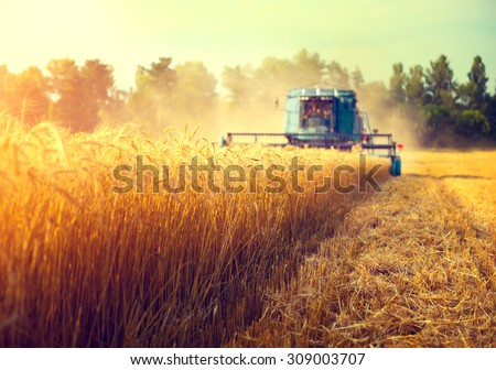 Harvester machine to harvest wheat field working. Combine harvester agriculture machine harvesting golden ripe wheat field. Agriculture Royalty-Free Stock Photo #309003707
