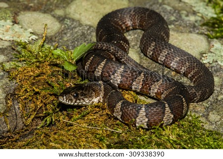Northern Water Snake Royalty-Free Stock Photo #309338390