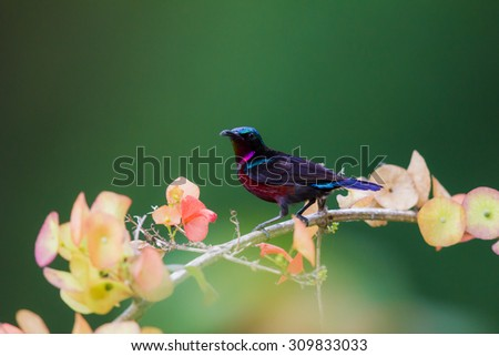purple throated sunbird #309833033