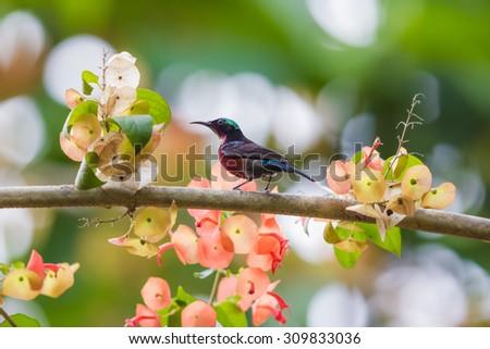 purple throated sunbird #309833036