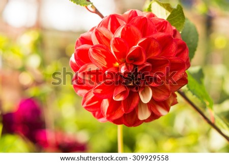 Dahlia flower on a green background in a bed in a garden #309929558