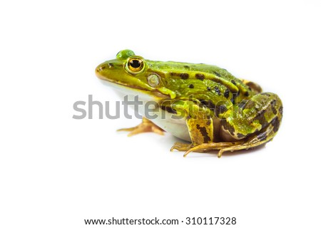 Beautiful and strong Pool frog male (Pelophylax lessonae) isolated on white background #310117328