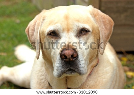 close up face shot of a labrador dog #31012090