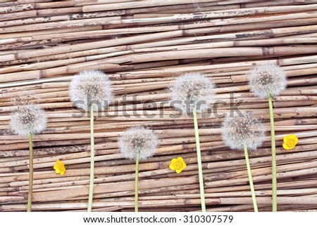 Dandelions and yellow flowers on dry reed background #310307579