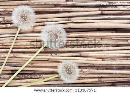Three dandelions on dry reed background #310307591