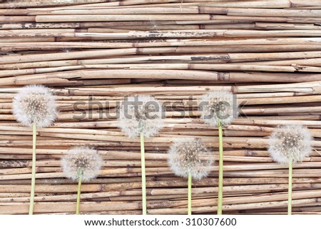 Dandelions on dry reed background #310307600