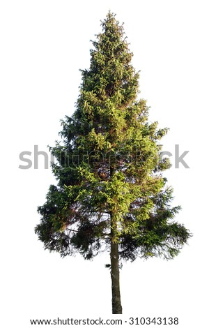 Fir tree isolated on white #310343138