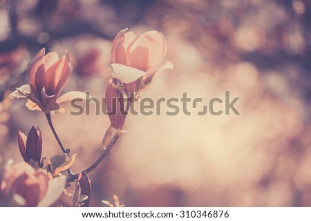 Flowering magnolia in a spring garden, background, texture #310346876