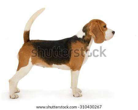 Beagle dog, stands isolated on white background  #310430267