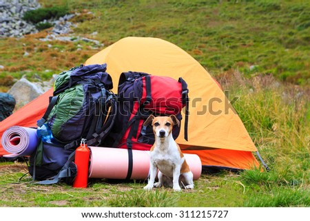 Dog Jack Russell terrier guarding tent and gear for a hike. Series of photos