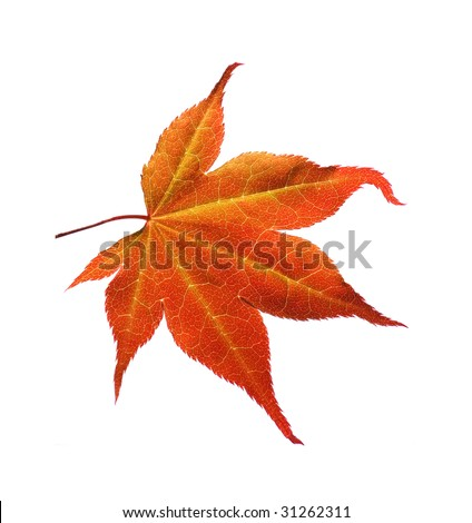 Orange maple leaf #31262311