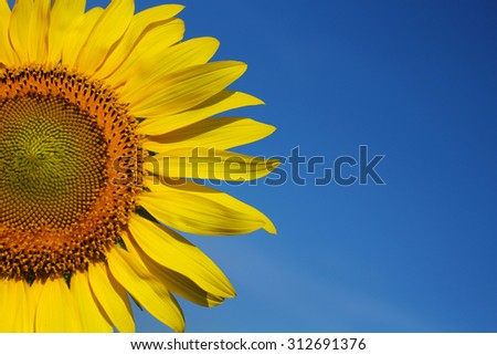 sunflower with blue sky #312691376