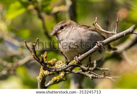 House sparrow sitting on a twig #313245713