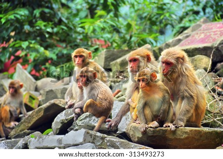 Group of Macaque monkey in ancient temple in Rewalsar city (Tsopema), Himachal Pradesh, India #313493273