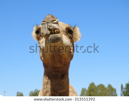 camel, nt, australia #313551392