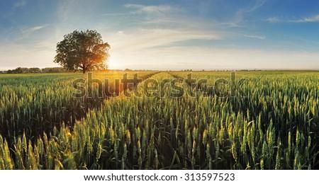 Wheat field at sunset #313597523