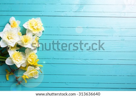 Fresh  spring yellow narcissus  flowers  in ray of light on green painted wooden planks. Selective focus. Place for text.  #313636640