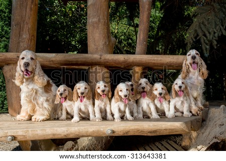 family of English Cocker Spaniel with small puppy, outdoor in sunny day #313643381