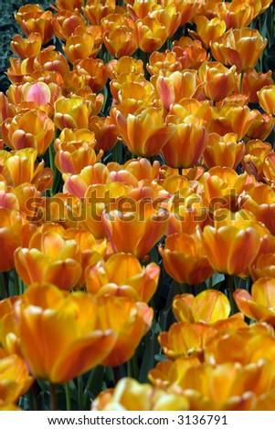Orange tulips in bloom #3136791