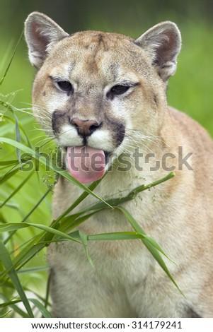 Puma, Puma concolor, Cougar, Minnesota, USA
