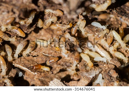 Worker and nasute termites on decomposing wood #314676041