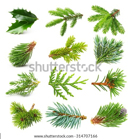 Evergreen tree branch set isolated on white background. #314707166