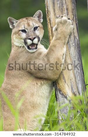 Puma, Bergloewe, Silberloewe, Puma concolor, Cougar,
