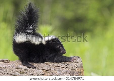 Stinktier, Skunks, Mephitis mephitis, Striped Skunks, Minnesota, USA, cub #314784971