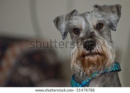 Dignified miniature schnauzer dog #31478788