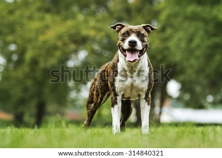 beautiful fun and majestic American Staffordshire Terrier dog or puppy champion in summer park #314840321