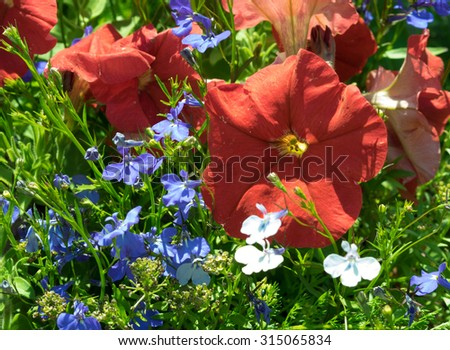 Some flowers petunias in focus on the flowerbed. Red colored, with blue lobelia flowers. Sunny summer day. #315065834