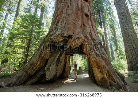 Man standing looking at giant big Red Wood tree in Calaveras big trees state national park in California, US Royalty-Free Stock Photo #316268975