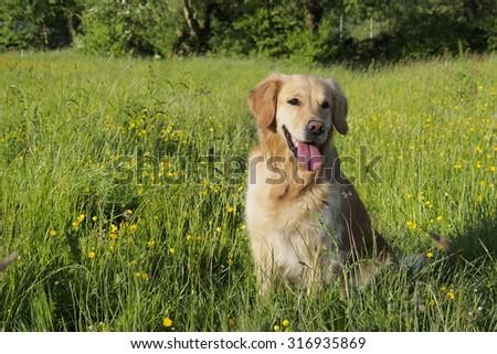 Golden Retriever sitting #316935869