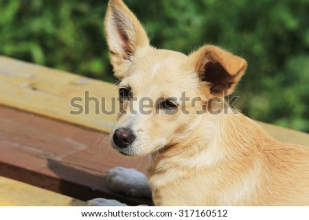 close-up portrait of the little red dog on the porch in the summer garden #317160512