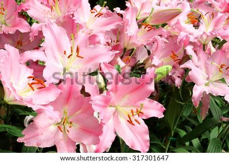 pink lily flower garden #317301647