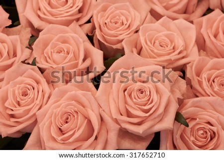 Macro shot of peach roses with pink borders                               #317652710