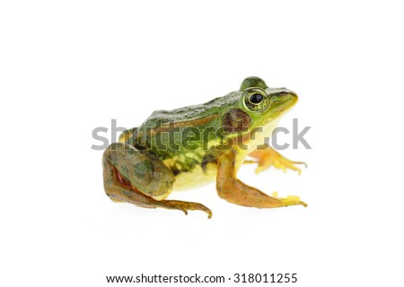 Frog isolated on a white background  #318011255