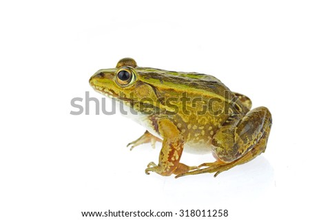 Frog isolated on a white background  #318011258